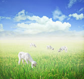 Lamb grazing. Royalty Free Stock Photography