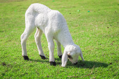 Lamb grazing. Stock Photography