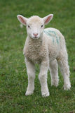 Lamb in green field royalty free stock image