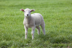 Lamb on the green field. Looks to the camera Royalty Free Stock Photos