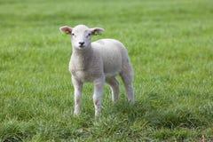 Lamb on the green field Royalty Free Stock Photos