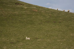 Lamb on green hillside Stock Image