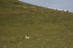 Lamb on green hillside Stock Image