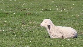 Lamb on green pasture Royalty Free Stock Image