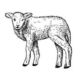 Lamb hands drawing Stock Photography