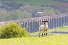 Lamb with harringworth viaduct in background Royalty Free Stock Photo