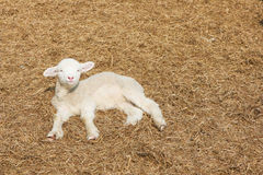 Lamb on hays Royalty Free Stock Photos