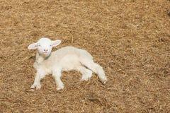 Lamb on hays Royalty Free Stock Photos