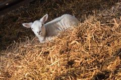 Lamb in haystack royalty free stock photography