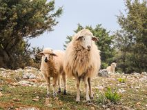 A lamb and her mother sheep in Croatia. Island of Cres Stock Images