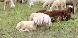 Lamb with her mother sheep royalty free stock photography