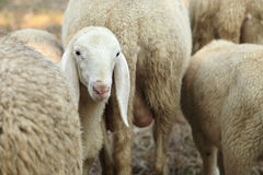 Lamb in herd of sheep Stock Image