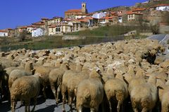Lamb Herd, Sheep, Gout Flock Spanish Village Royalty Free Stock Photo