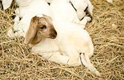 Lamb on hey in farm royalty free stock photography