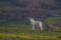 lamb on hill ridge at sunset Royalty Free Stock Image