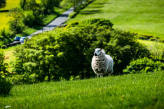 Lamb on the hill Royalty Free Stock Photo