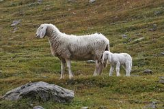 Lamb with his mother Royalty Free Stock Photos