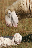 Lamb with his mother Royalty Free Stock Photography