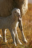 Lamb with his mother Stock Images