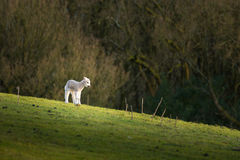 Lamb i fält Arkivfoto