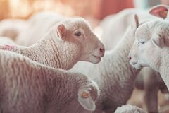 Free Lamb In Sheep Pen On Dairy Farm Stock Photography - 176489372