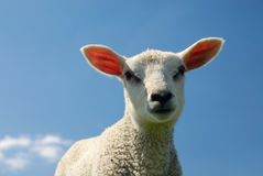 Lamb In Spring Royalty Free Stock Photos