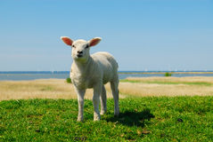 Lamb In Spring Stock Image