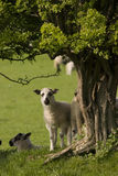 lamb interesujące Obraz Stock