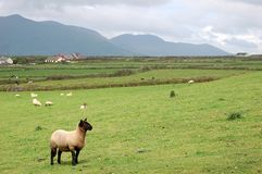 Lamb in irish landscape Royalty Free Stock Photo