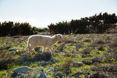 Lamb on island Pag Royalty Free Stock Photography
