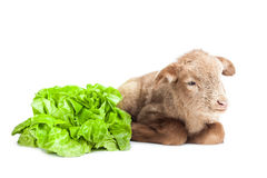 Lamb isolated on white background with salad as ve. Cute little brown baby lamb isolated on white backgorund Royalty Free Stock Photos