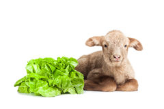 Lamb isolated on white background with salad as ve. Cute little brown baby lamb isolated on white backgorund Stock Photo