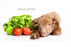Lamb isolated on white background with salad and t. Cute lamb lying on the white isolated background Stock Photography