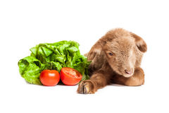 Lamb isolated on white background with salad and t. Cute little brown baby lamb isolated on white backgorund Royalty Free Stock Photos