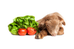 Lamb isolated on white background with salad and t. Cute little brown baby lamb isolated on white backgorund Royalty Free Stock Photo