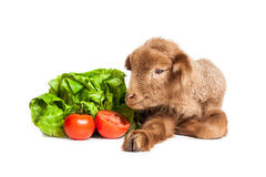 Lamb isolated on white background with salad and t. Cute little brown baby lamb isolated on white backgorund Stock Photo