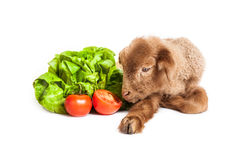 Lamb isolated on white background with salad and t. Cute little brown baby lamb isolated on white backgorund Royalty Free Stock Image