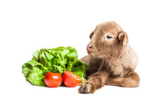 Lamb isolated on white background with salad and t. Cute little brown baby lamb isolated on white backgorund Stock Photos