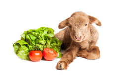 Lamb isolated on white background with salad and t. Cute little brown baby lamb isolated on white backgorund Stock Images