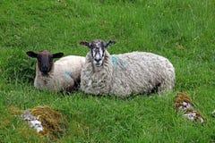 Lamb with its mother. Lamb with its mother in Derbyshire, England Stock Photography
