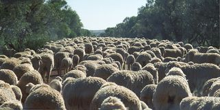 Lamb Jam. A road in the Australian outback is clogged with sheep Royalty Free Stock Photo