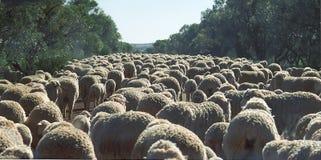 Lamb Jam royalty free stock photo