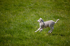 Lamb Jump. A young lamb running and jumping in a green field stock images