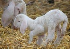 Lamb just born. A little lamb just born Stock Photos