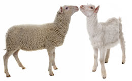 Lamb and kid Royalty Free Stock Image