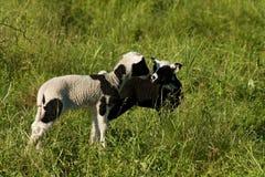 Lamb kids Stock Photo