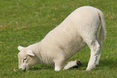 Lamb Kneeling Stock Photography