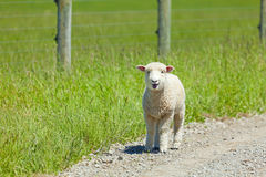 Lamb on the Lam Royalty Free Stock Photography