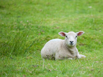Lamb laying in grass field Stock Photo