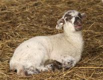 Lamb laying in straw in a barn. Baby lamb laying in the straw with mouth open Royalty Free Stock Photography